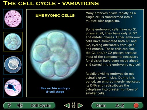 Embryonic cell division 8 cell fish embryo screenshot